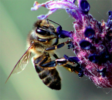 """Proyecto IRIAF. CIAPA. """"Monitoring the Mediterranean honey bee subspecies and their resilience to climate change for the improvement of sustainable agro-ecosystems"""""""