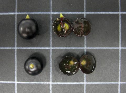 Grano Tinto Fragoso. Variedad Rescatada por el IVICAM de la extinción