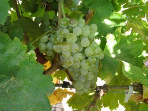 Castilla-La Mancha recupera ocho variedades de vid autóctona en los últimos cinco años gracias a los trabajos de investigación del IVICAM