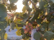 Castilla-La Mancha impulsa la innovación en el sector del pistacho. CIAG. IRIAF